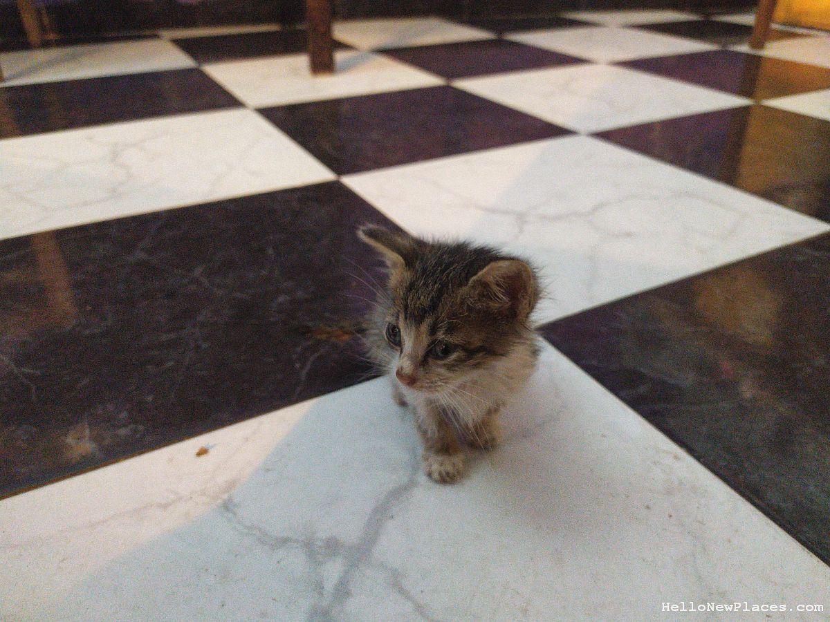 kitten-walks-up